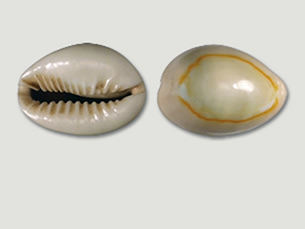 Cowry shell as global currency